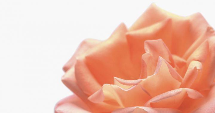 piel hidratada con rose dew